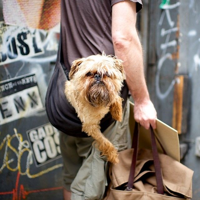 Image result for 犬 Brussels Griffon  美しい