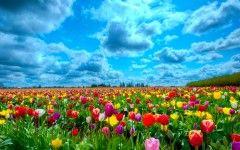 Tulip Fields In Netherlands HD Dekstop Wallpaper