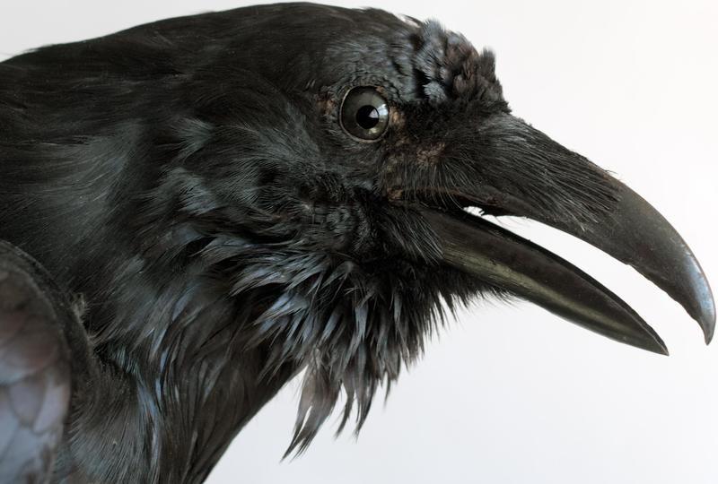 10 fascinantes curiosidades sobre los cuervos