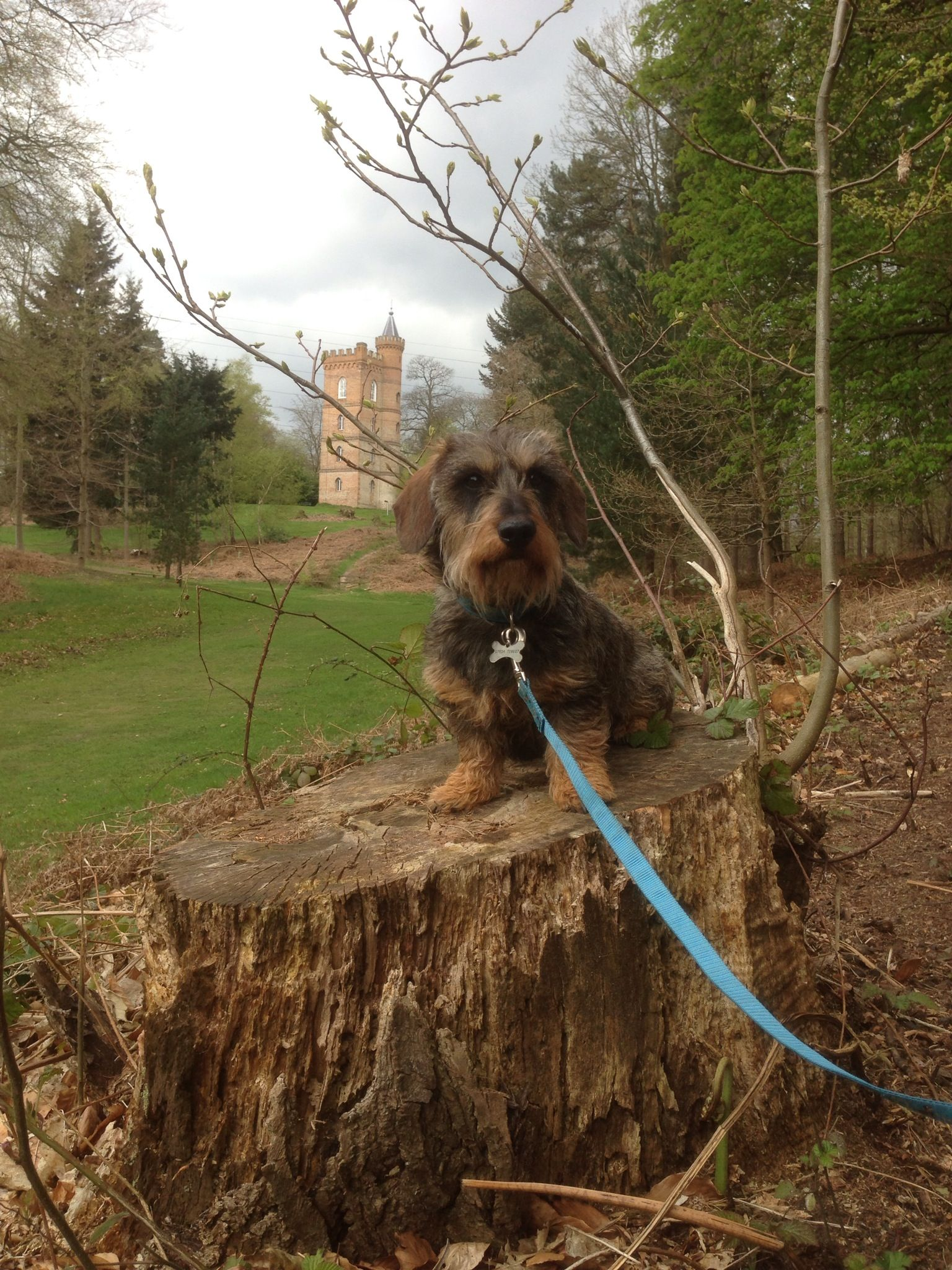 Jeffrey The Dachshund Posing On A Walk In Painshill Park Surrey