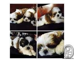 Shihtzu Pups For Sale With Us 917666666299 In Mumbai Maharashtra