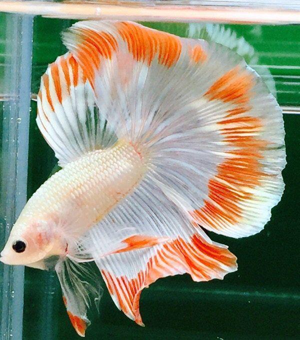 Fwbettashm1468080594 White Orange Thering Hm Male Betta Fish Betta Betta Fish Care