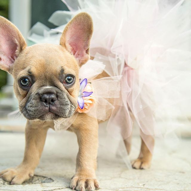 French Bulldog Puppy In A Tutu Cute Cats And Dogs French