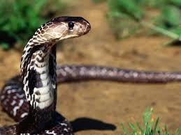 Snakes Snake Wallpaper Snake Indian Cobra