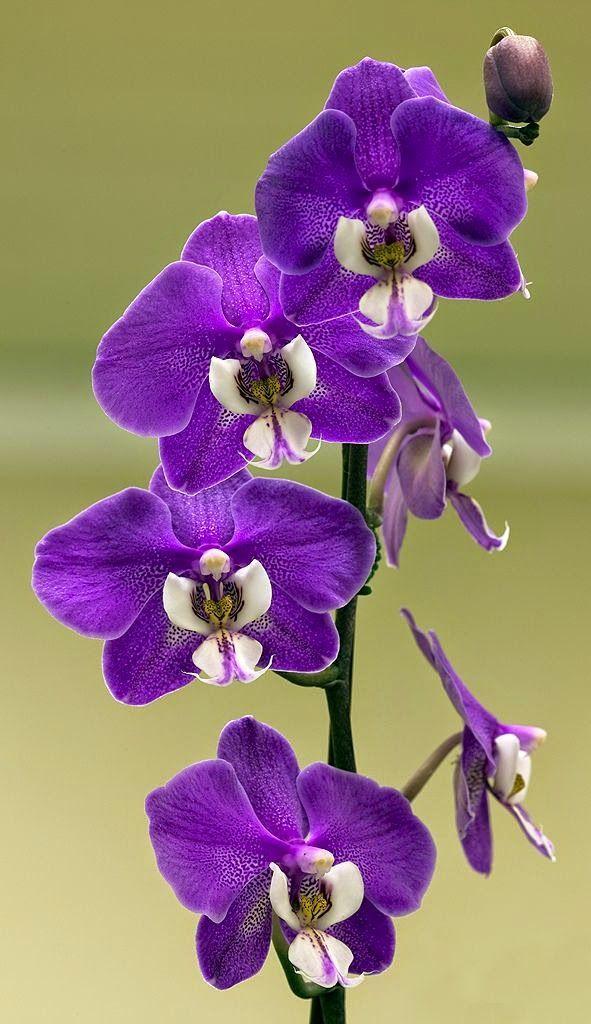 Moth Orchid Phalaenopsis Hilo Lip Catnip Orchid Flower Unusual Flowers Purple Orchids