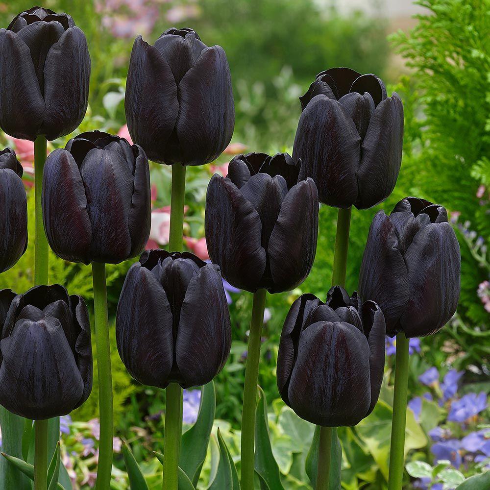 Tulip Paul Scherer 40cm Late Black Tulips Black Tulip Flowers Tulips