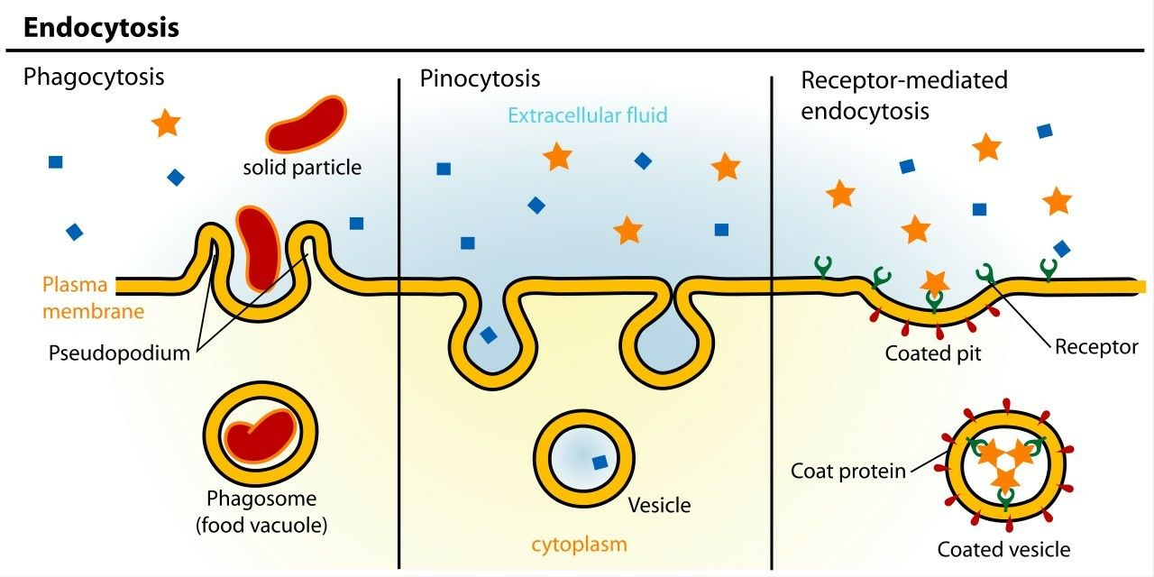 Types of Endocytosis ... 【 Clathrin i.e Coat protein - Mediates ...