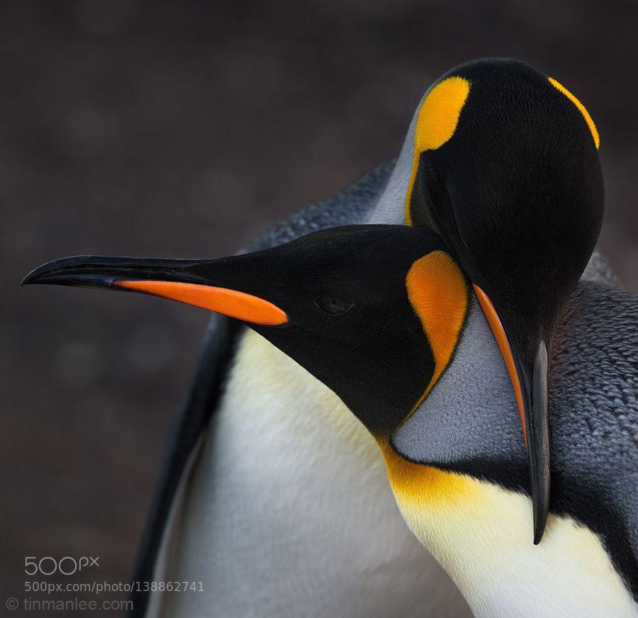 http://ift.tt/1K6283m #animals king penguins in love by tinman http://ift.tt/1PBSRR8 #pierceandbiersadorf