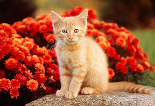 Cat 03 Gr0836 01 C Kimball Stock Portrait Of Red Tabby Kitten Sitting On Rock By Red Flowers Kittens Cats Stock Photos