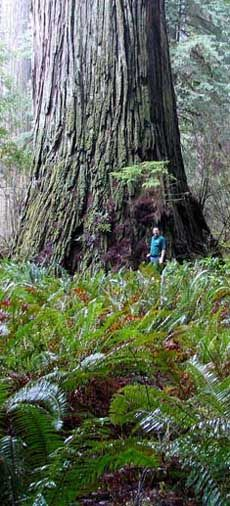M. D. Vaden (Certified Arborist) next to coast redwood Del Norte Titan. In Jedediah Smith Redwoods State Park among the Grove of Titans in California.