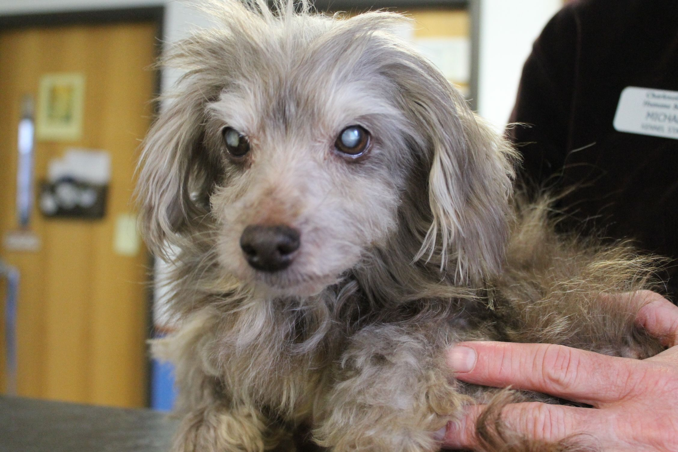 Adopt Suzzy on Poodle mix dogs, Humane society, Pet search