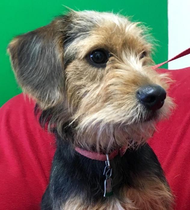 Adopt Bo On Animal Welfare Society Pup Cairn Terrier