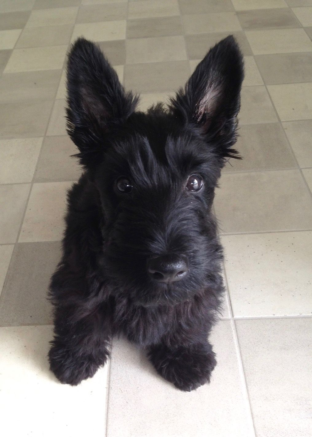 Scottie Notre Max 11 Weeks Old Scottie Puppies Scottish Terrier Puppy Westie Puppies