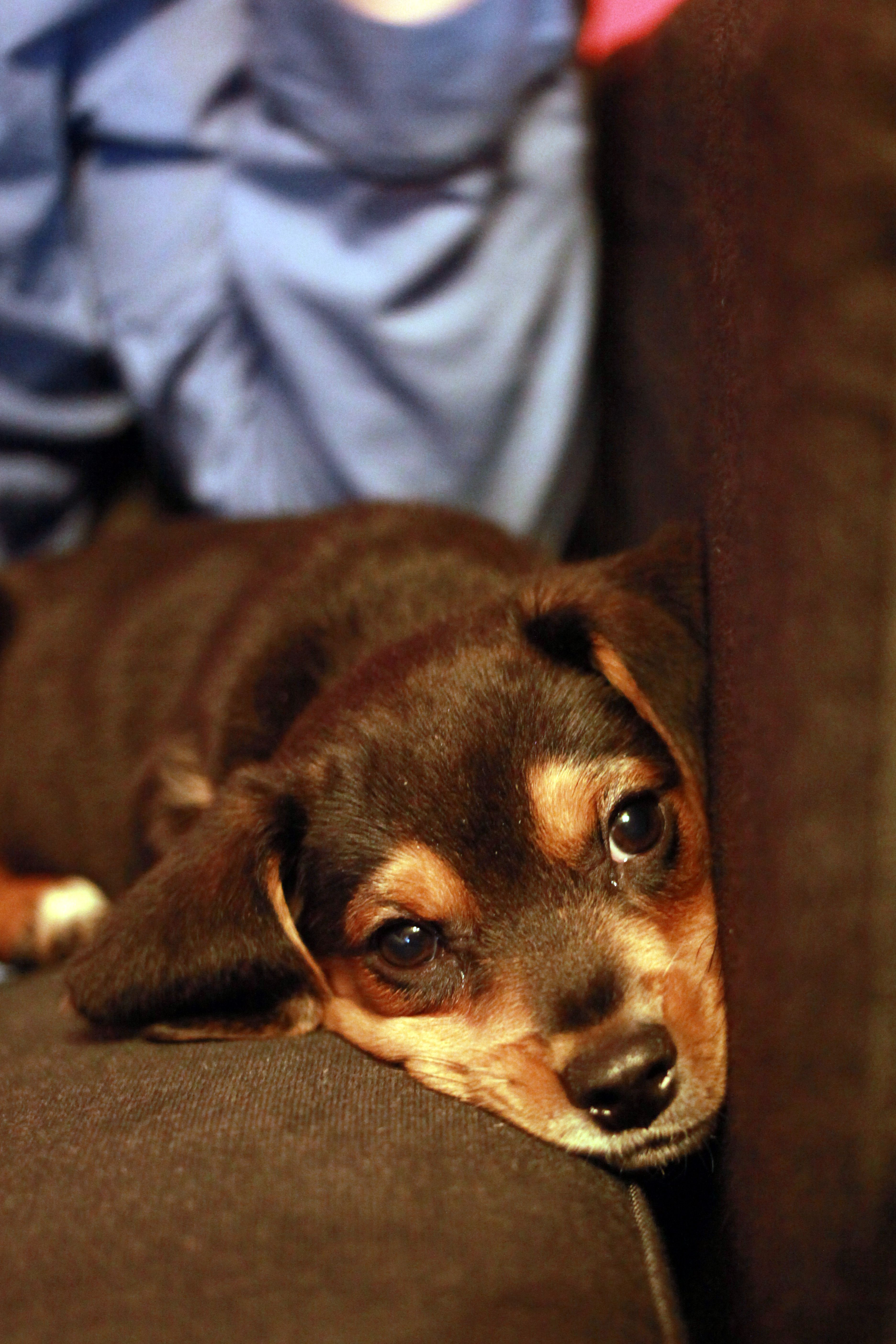 Chipper. Beagle puppy. (by Kristi McMurry)
