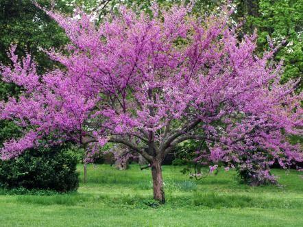 12 Great Patio Trees Patio Trees Shade Trees Redbud Tree