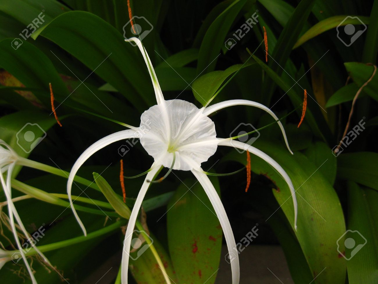 Mitzrah solitary white spider lily flower close up stock photo mitzrah solitary white spider lily flower close up izmirmasajfo Image collections