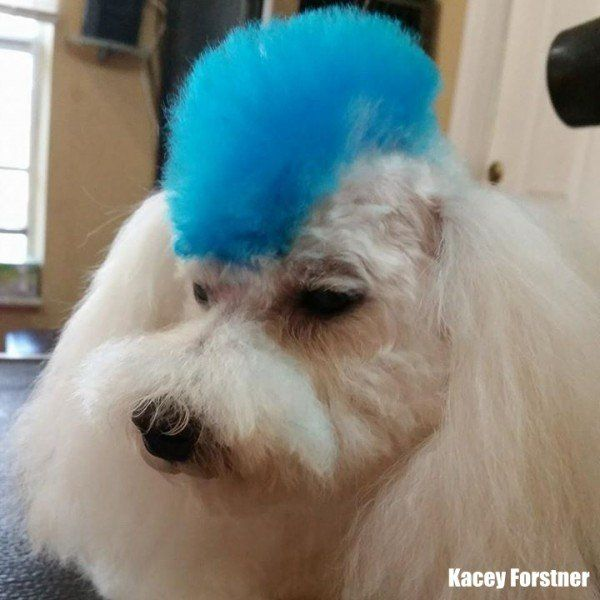 Dog hair dye-pet hair coloring with OPAWZ dog dye for dog coloring ...