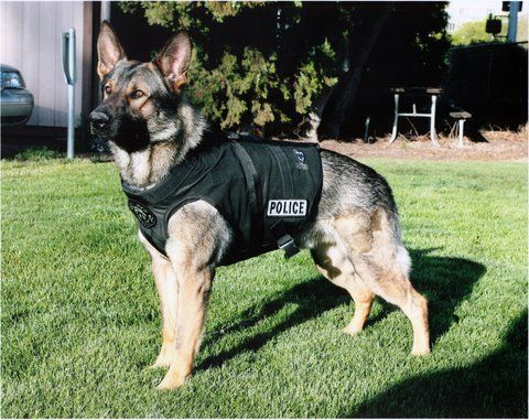 German Shepherd Dog Breed Information And Photos Police Dogs