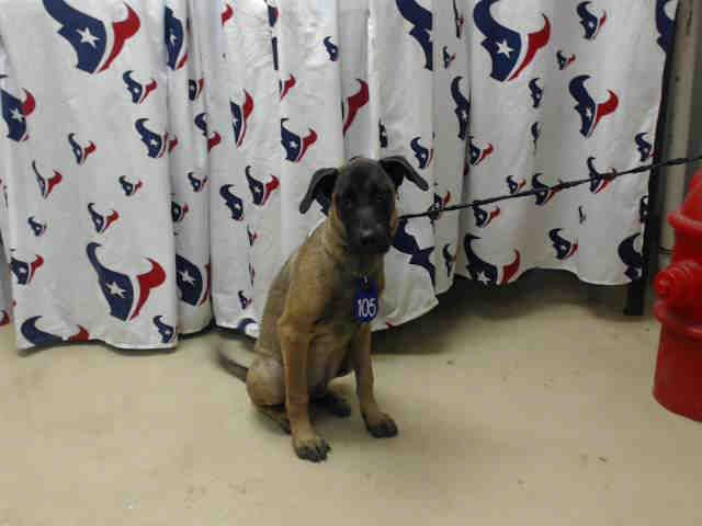 Texas 9 6 16 A467057 Available For Adoption Belgian Malinois Animals Dogs Pets