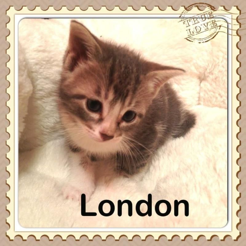 Available for adoption London is a male cat, Domestic