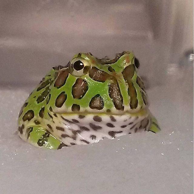 Manmaru San さんのinstagramをピンしています ツノガエル飼育始めました ベルツノガエル ベルちゃん ベルツノガエル ツノガエル カエル ペット 飼育 両生類 水槽 アクアリウム 可愛い かわいい 可愛いすぎ Frog Pictures Pacman Frog Frog And Toad