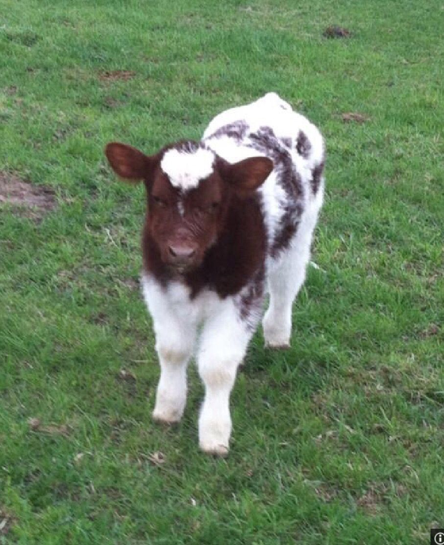 shorthorn archives page 2 of 8 cattle blogscattle blogs page
