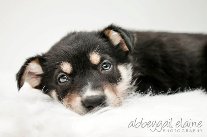 Miller 2 Months Old Border Collie Husky Rottie X Look At This