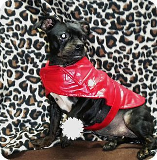 Longview Tx Boston Terrier Dachshund Mix Meet Sassy A Dog For