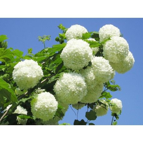 Fiori Bianchi A Palla.Viburno Palla Di Neve Viburnum Opulus Roseum Viburnum Opulus