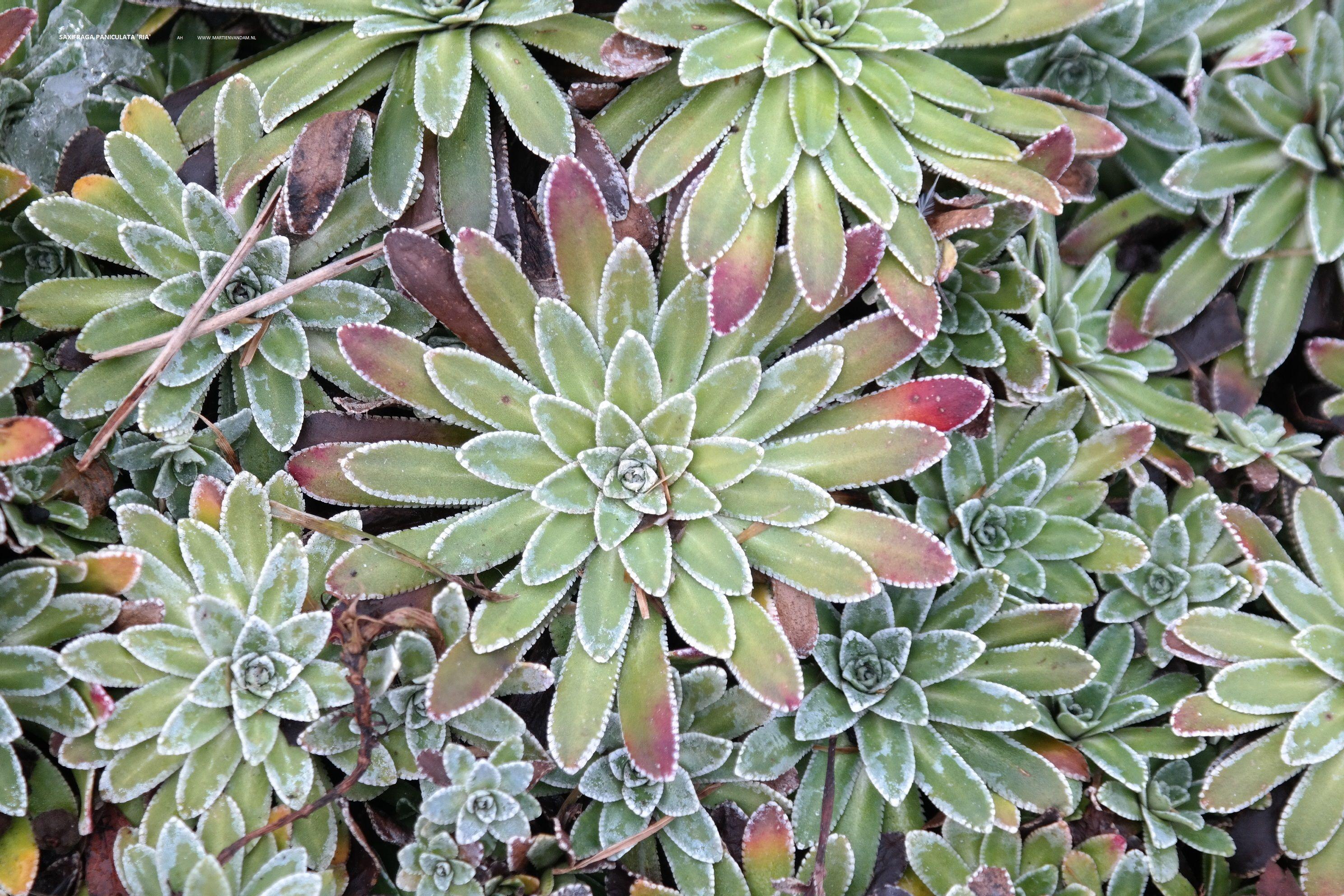 Saxifraga paniculata 'Ria': steenbreek, bloeit wit – in bloei .30 hoog, bodembedekkend (9 planten per m2)