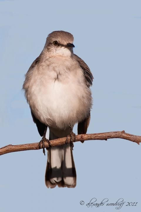 """Northern Mockingbird.  For excellent video/audio presentation of the bird's magnificent singing, go to """"The Internet IBC Bird Collection"""" via this link: http://ibc.lynxeds.com/video/northern-mockingbird-mimus-polyglottos/dorsal-view-adult-perched-singing"""