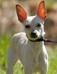 Image Result For Italian Greyhound Chihuahua Mix Chihuahua Mix