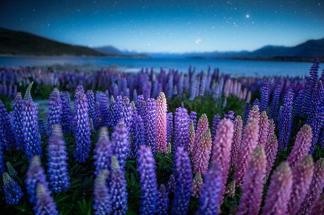 Lupines field by CoolbieRe