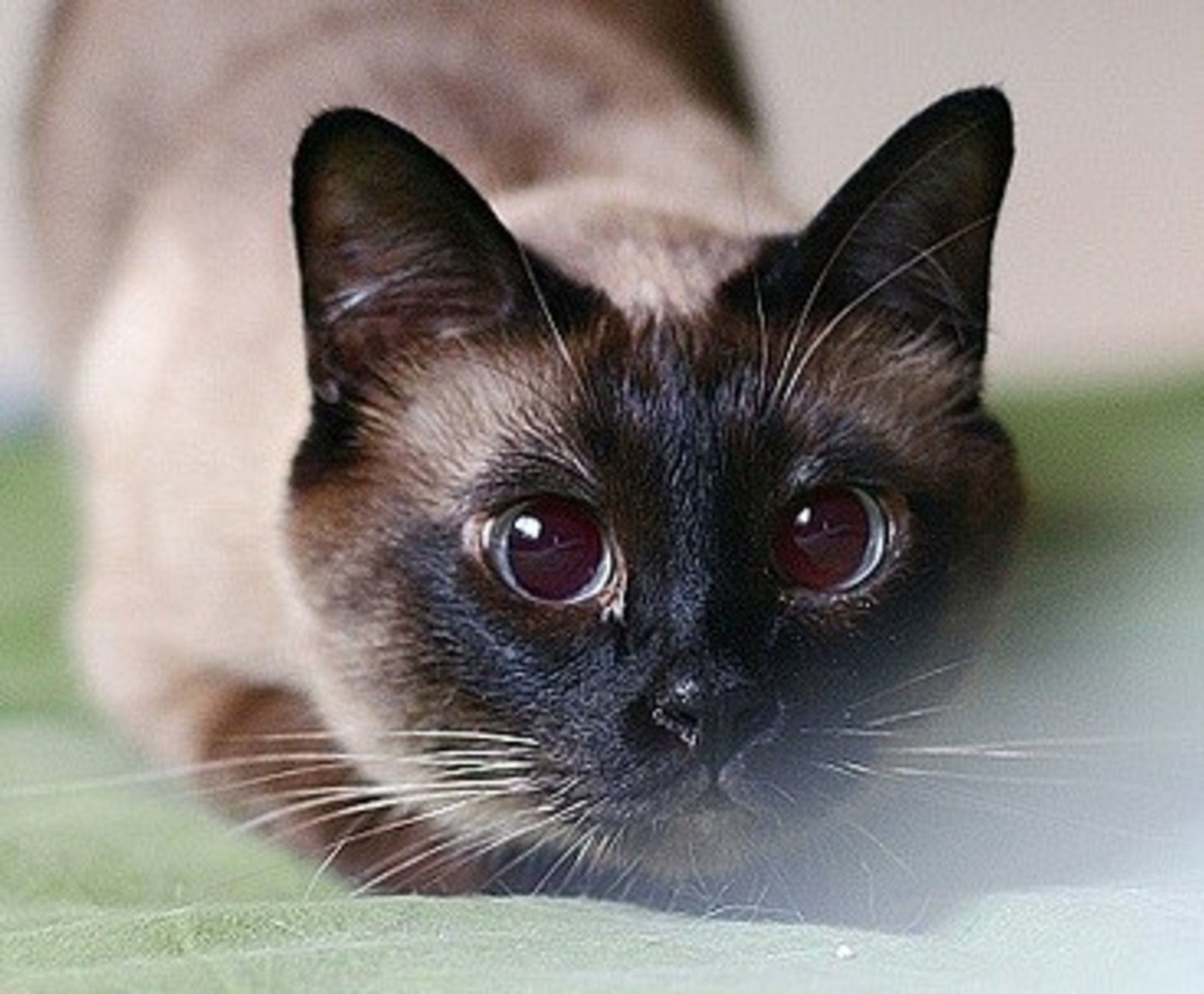 A Chinese Cat Blogger Dafeierpang Has Six Beautiful Cats Four Of Them Are Siamese Kitties They Are All Her Lovel Beautiful Cats Pretty Cats Siamese Kittens