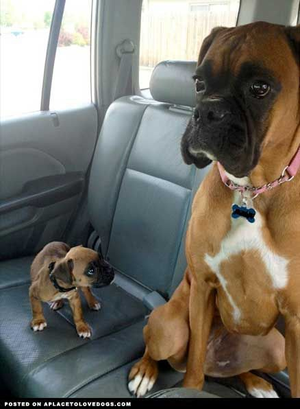 So Cute Boxer Dogs Funny Dogs Boxer Puppies