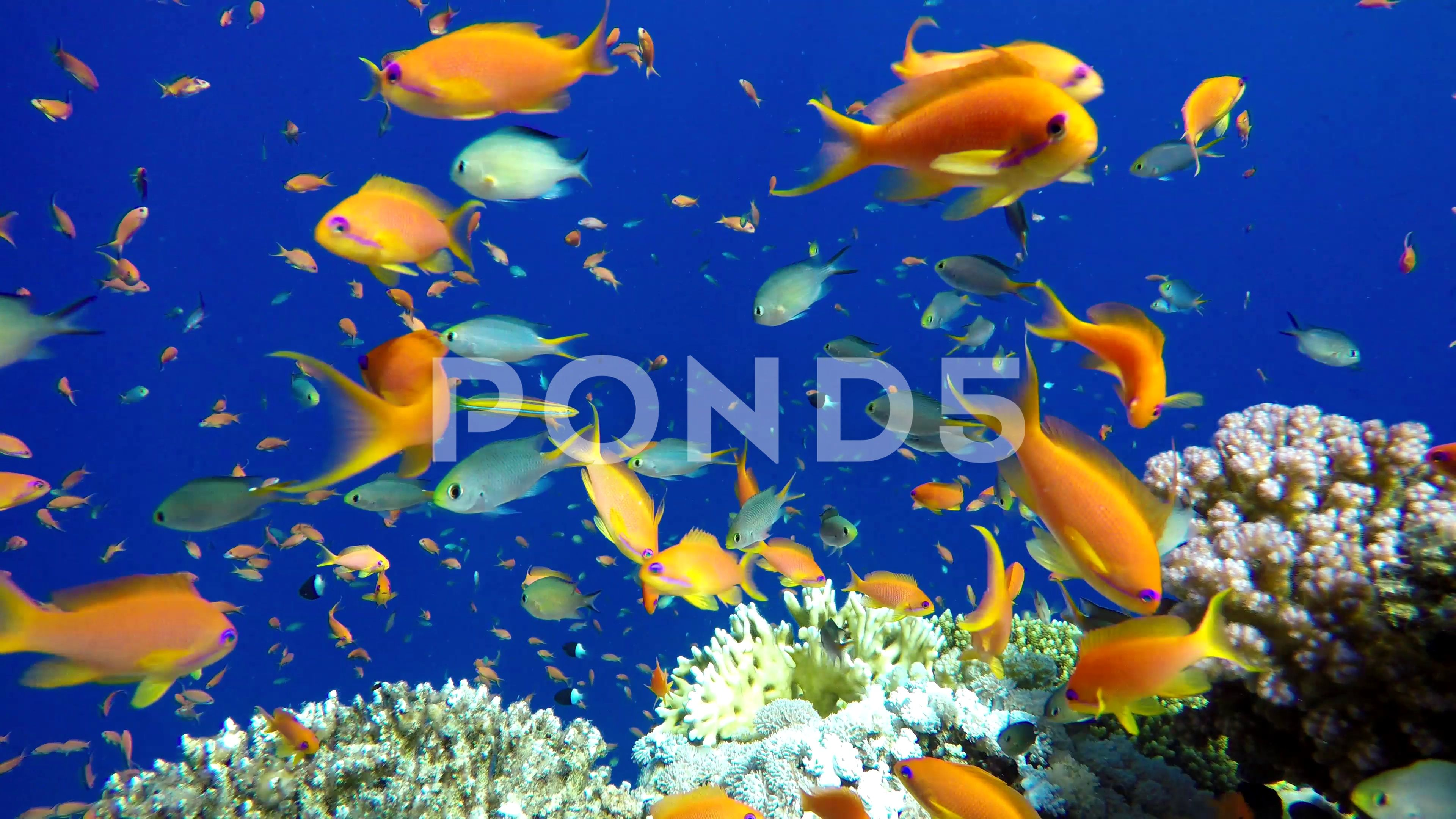 Coral Reef Tropical Fish Warm Ocean And Clear Water Underwater World Stock Footage Fish Warm Ocean Coral Tropical Fish Fish Underwater World