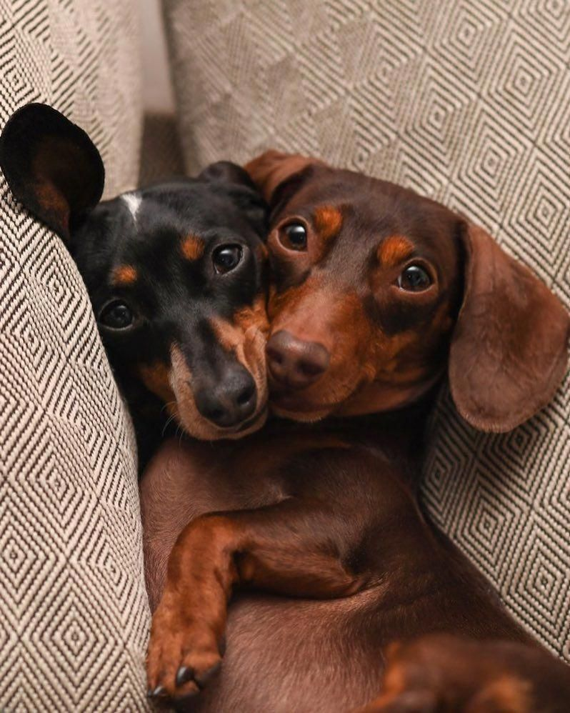 Everything About The Lively Dachshunds Personality Dachshundofig