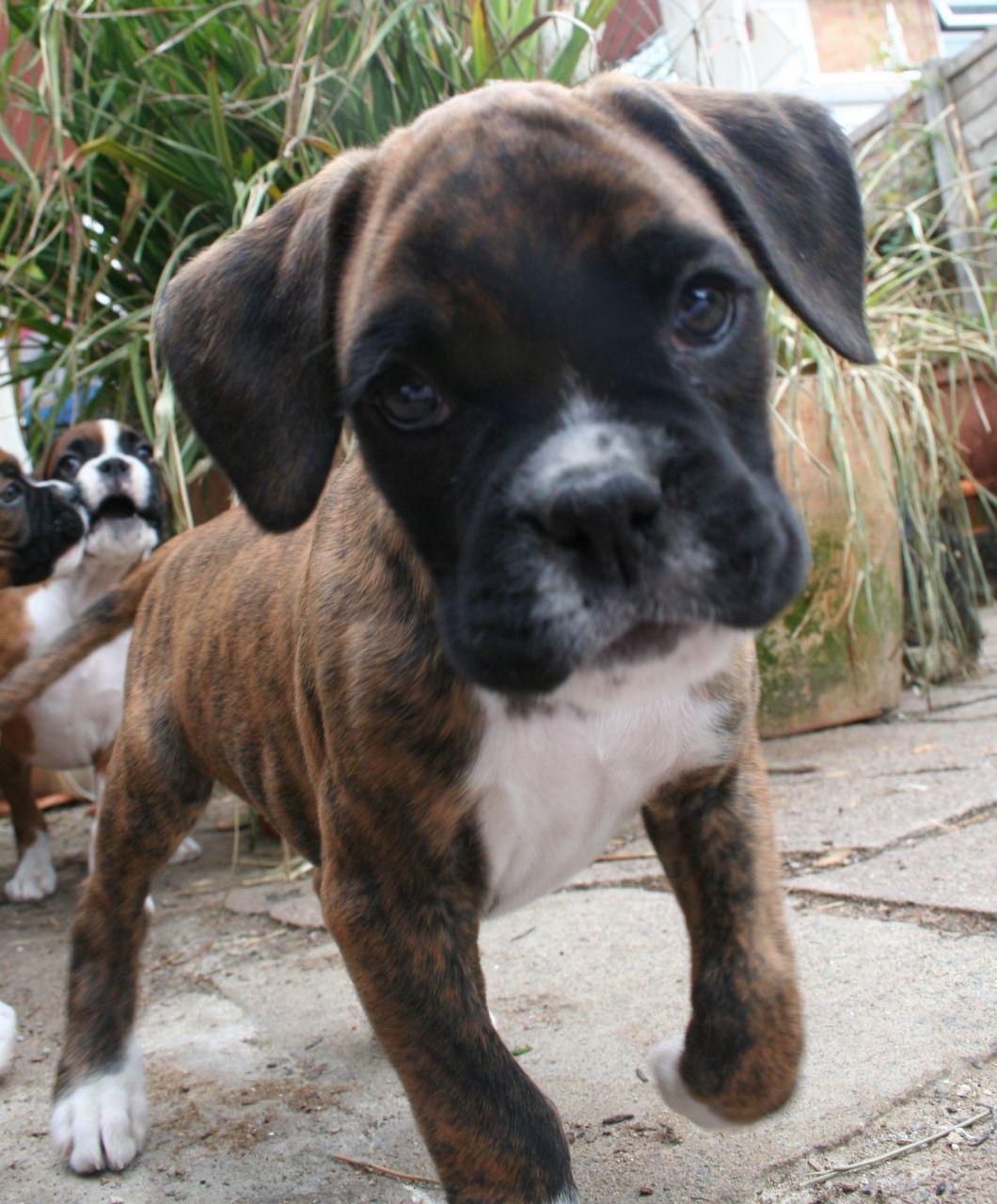 Handsome Boy! Boxer breed, Akc, Boxer