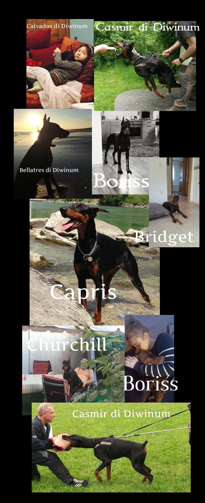 Pin By Zdravko Belic On Dobermann Diwinum Dogs Dogs Doberman