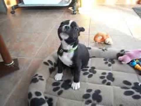 Cute Boston Terrier Puppy Sings Christmas Boston Terrier Boston Terrier Funny Boston Terrier Puppy