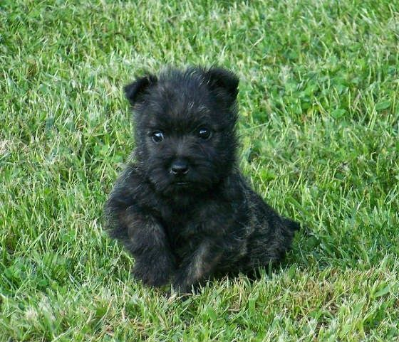 Cute Animals Of Black Cairn Terrier Puppies Pictures