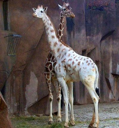 An Albino Giraffe Albino Animals Animals Beautiful