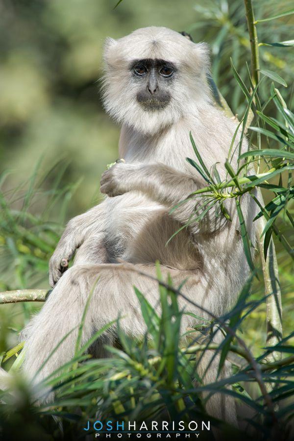A Grey Langur or Hanuman Langur on the outskirts of Rishikesh In Northern India. #langur #monkey #greylangur #hanuman #wildlifephotography #travelphotography #wildlife #travel #himalayas #india #nature #naturephotography #rishikesh