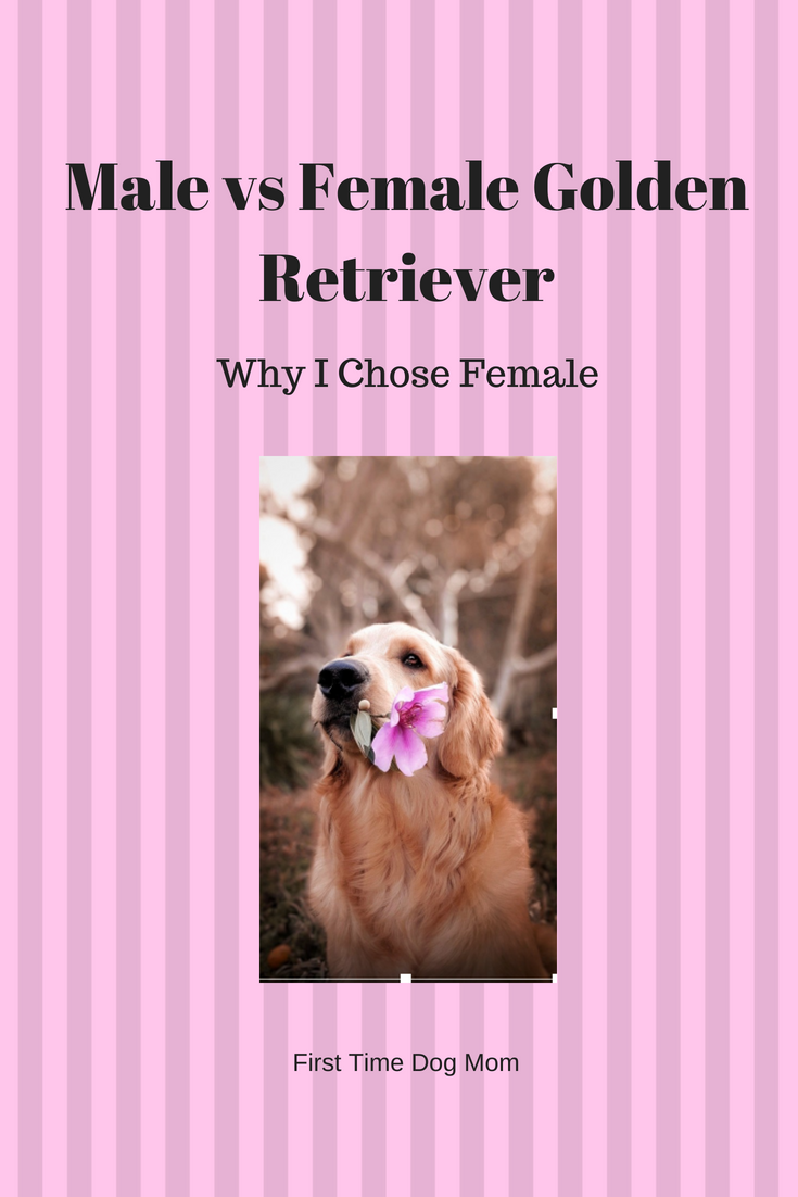 Male Vs Female Golden Retriever Why I Chose Female With Images
