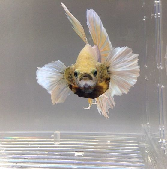 Flaring elephant ear betta betta splendens pinterest for Betta fish personality