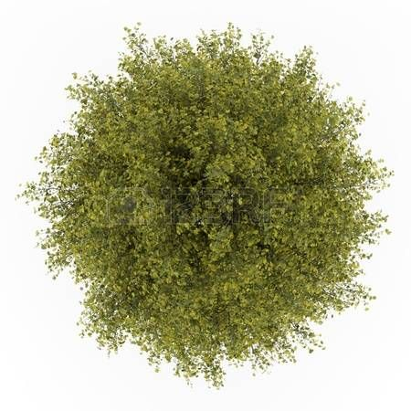 Top View Of Ginkgo Tree Isolated On White Background Tree Photoshop Trees Top View Tree Plan