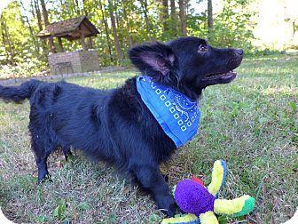 Orson Adopted Dog Mocksville Nc Corgi Schipperke Mix