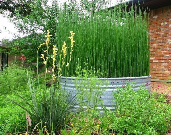 wie schachtelhalm reed pflanze hinterhof designideen landschaft ideen zu wachsen - Hinterhoflandschaften Designs