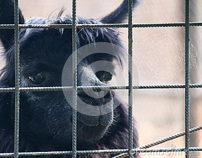 Cute black lama looking with sadness behind fence at zoo.