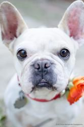 Adopt Pancake On Boxer Rescue French Bulldog French Bulldog Mix